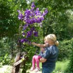 How to Grow Jackmanni Clematis