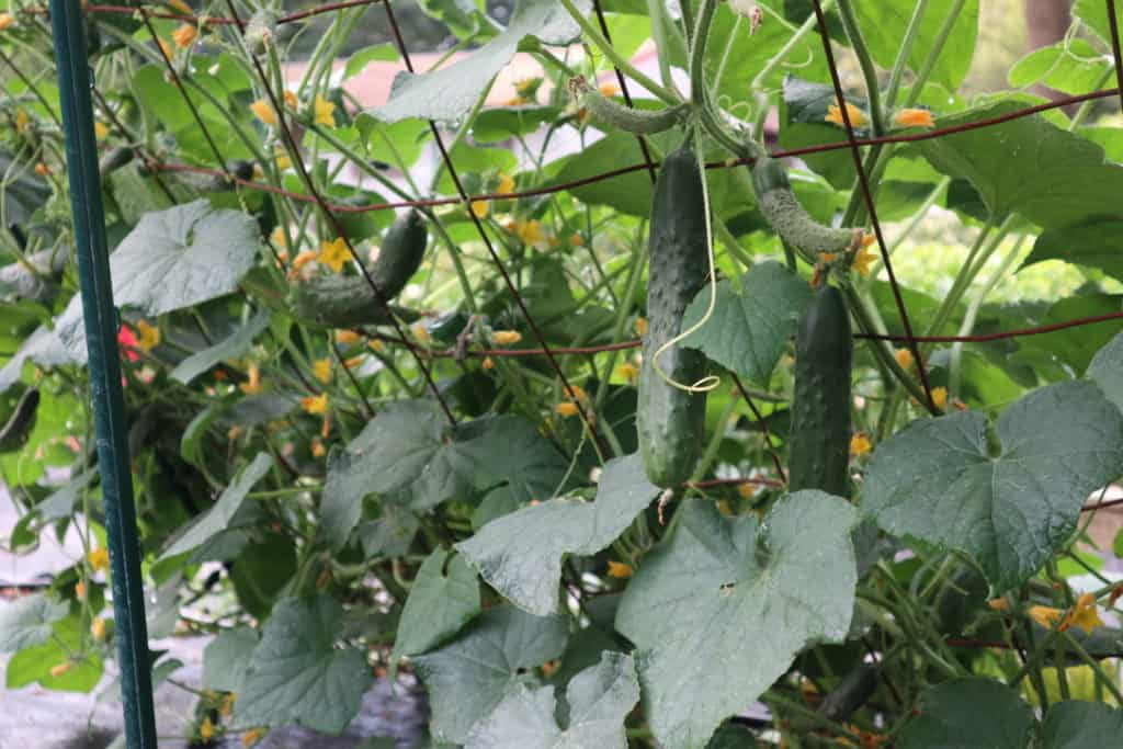 cucumbers growing on a fence