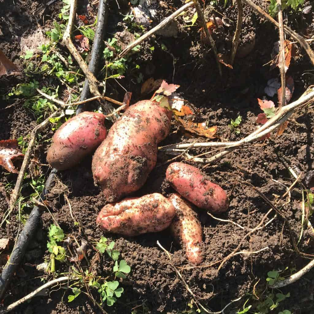 newly dug potatoes