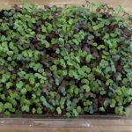 Grow Microgreens in Strawberry Clamshells