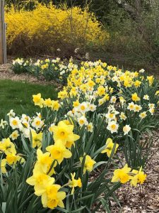 Split out Daffodil Bulbs – How To
